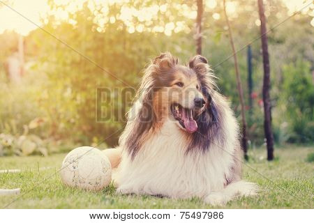 Rough Collie And A Ball.