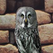 pic of laplander  - Great Grey Owl or Lapland Owl or Strix nebulosa - JPG