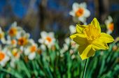 stock photo of daffodils  - A yellow daffodil stands out against a field of white and orange daffodils - JPG