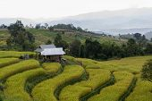 image of bong  - Baan Pa Bong Piang rice terraced field close up Chiangmai - JPG