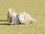 image of dog breed shih-tzu  - A small young light brown black and white tan Shih Tzu dog with a long silky coat and braided head coat running on the grass - JPG