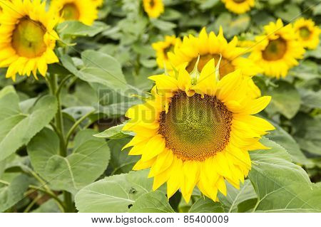 Large Happy Sunflower And Sunflower Oil Crop On A Sunny Day In The Sou