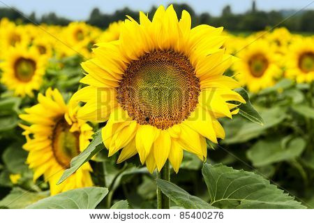 Large Happy Sunflower And Sunflower Oil Crop in the South Of France