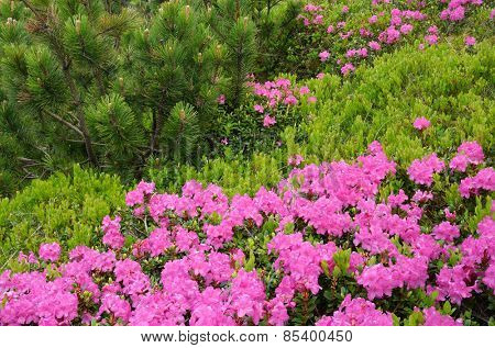 Summer in the mountains. Rhododendron flowers and alpine pine. Beauty in nature