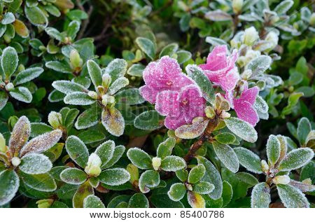 Rhododendron flowers covered with frost