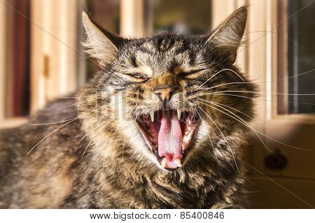 Tortoiseshell cat yawning. Closeup of head.