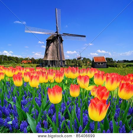 Tulips wWith Dutch windmill, Netherlands