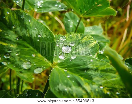 Dewdrops on a trefoil