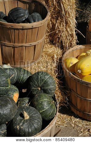 Autumn Harvest of Squash