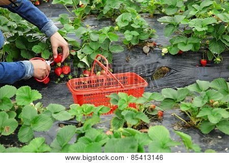 young asian woman hands harvest strawberry in field
