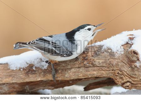 White-breasted Nuthatch (sitta Carolinensis) In Snow