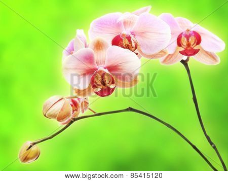 Beautiful gentle branch of pink romantic orchid flowers isolated on green background