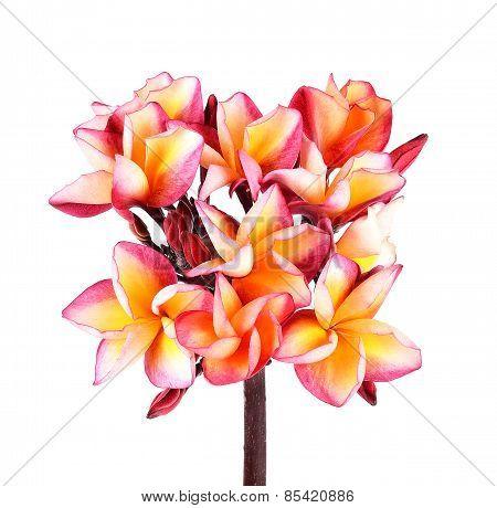 Plumeria Flower On White Background