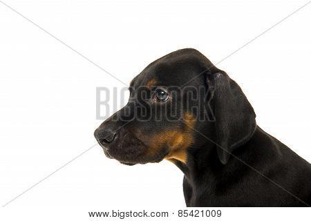 Puppy Of Doberman Pinscher
