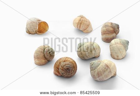 Eight Cockle-shells