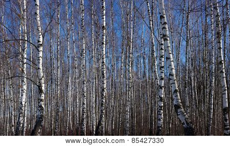 Early Spring Birch Grove