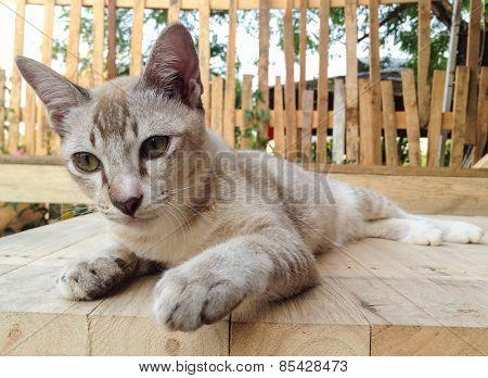 Brown Siamese Cat.
