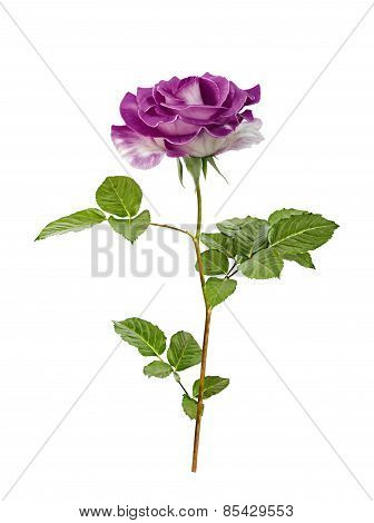 Beautiful Purple Painted Rose With Leaves Isolated On White Background