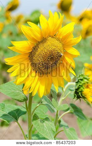 Bright yellow sunflower in the sunflower field