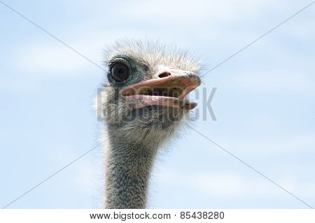 Big domestic ostrich in the poultry yard