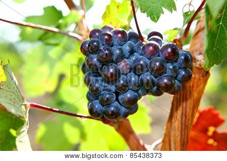 Bunch Of Grapes Growing On The Vinebeautiful Burgundy Most Vine With Grapes. New