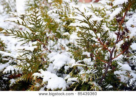 White Hoarfrost Crystal On Green Thuja Background