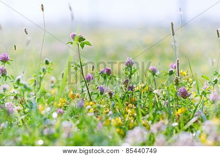 Flowering clover - red clover