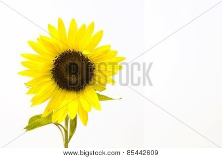 Sunflower On White Background, Isolated Flower With Spacing For Caption