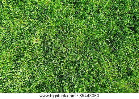 Beautiful  fresh green grass in the garden.