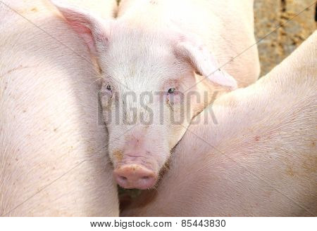 Melancholy Look Of The Pig In The Pigsty Of The Farm