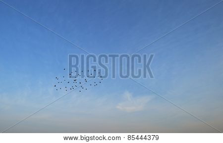 Flock of swallows flying in the sky