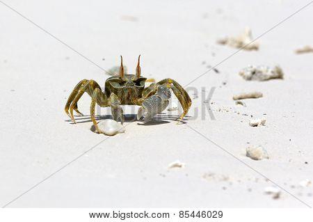 Ghost Crab (Ocypode quadrata)