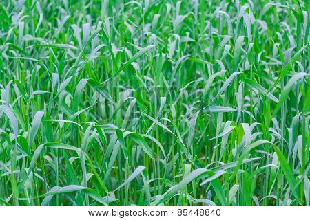 Green Field Close Up