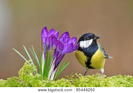 Great tit and crocus
