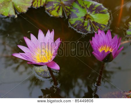 The twin pink lotus