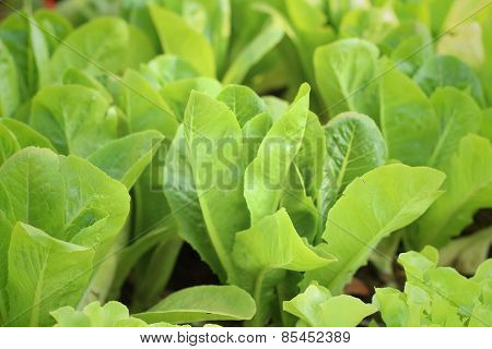 Hydroponic Vegetable In Nature At The Garden