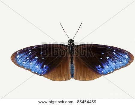Isolated Top View Of Striped Blue Crow Butterfly