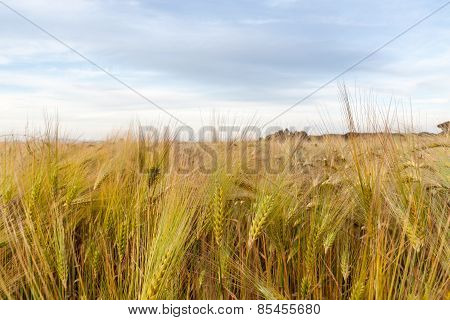 Young wheat growing in green farm field