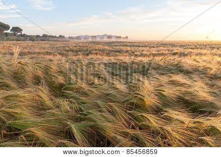Young wheat growing in green farm field under blue sky