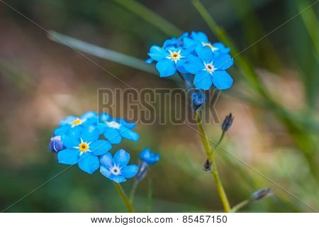 Forgetmenots Flowers