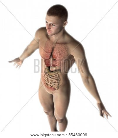 3D render of a male figure with healthy internal organs