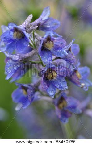 Larkspur flower.