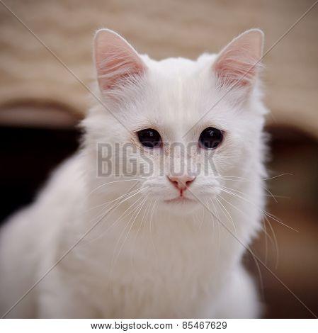 Portrait Of A White Cat.