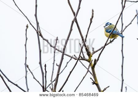 Parus Major On A Twig