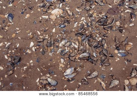 Clam Shells In The Sand