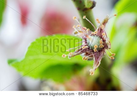 Early stage of almonds growing on a almon tree branch isolated on black- almond flowers as background