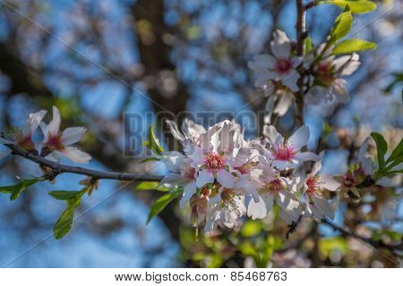 Portugal, Algarve (Europe) - Almond flower blossom in spring, shallow DOF (Detail of a tree branch)
