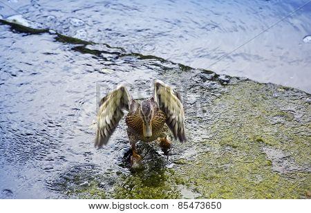 Drake in the river in splashes