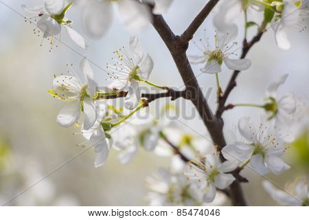 White Plum Tree Spring Blossom In Park
