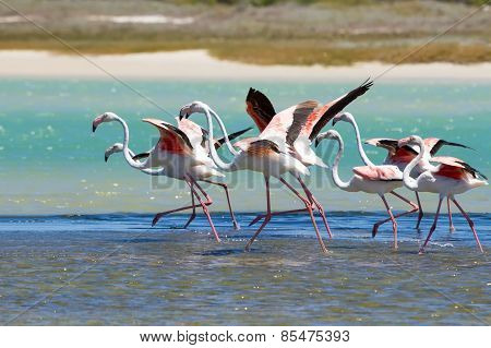 Flock Of Flamingos Taking Off From Lagoon To Fly Away